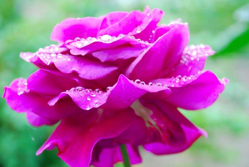 Rosa de jardín posterior