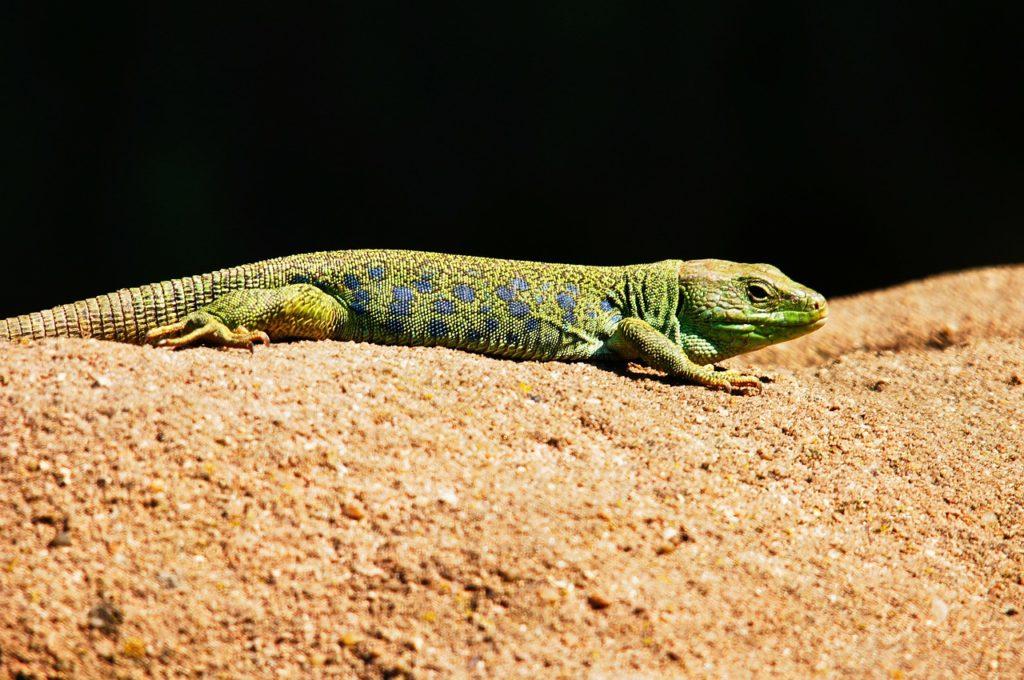 lagartija esmeralda
